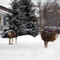 Deer in the RLBR