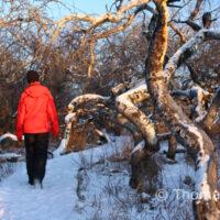 Crooked Bush in Winter, Hafford