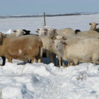 Sheep in the RLBR